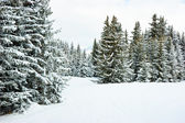 Fir trees on winter mountain — Stock Photo