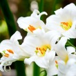 White lilies — Stock Photo #13740527