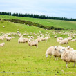 Sheeps — Stock Photo #13740954