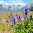Lupinus - Stock Photo