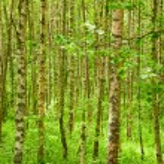 Summer birchwood — Stock Photo