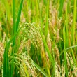 Rice paddy — Stock Photo #13741704