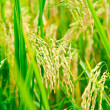 Rice paddy — Stock Photo #13741709
