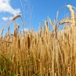 Barley — Stock Photo #13742351