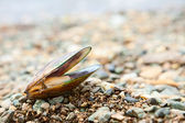 Greenshell mussel on a beach — Stock Photo