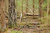 Fondo de madera de pino — Foto de Stock