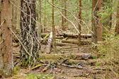 Pinewood-hintergrund — Stockfoto