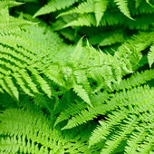 Fern leaves — Stock fotografie