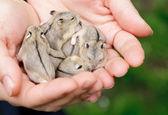 Hamster pups — Stock Photo