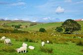 Sheep farm — Stock Photo