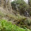 Tornado ravaged forest - Stock Photo
