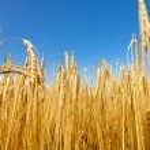 Barley field — Stock Photo #15764939