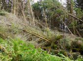 Tornado ravaged forest — Stock Photo