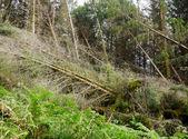 Tornado ravaged forest — Stock Photo