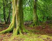 Wald in schottland — Stockfoto
