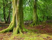 Forêt en écosse — Photo