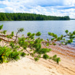 Pine branch against forest lake — Stock Photo #25231645