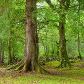 在苏格兰的森林 — 图库照片