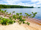 Pine branch against forest lake — Stock Photo