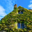 House covered by climbing English ivy — Stock Photo