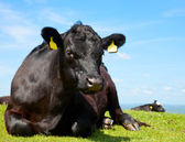 Angus cattle — Stock Photo