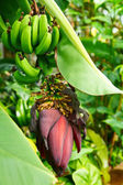 Banana inflorescence and fruit — Stock Photo