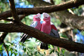 Galah birds — Stockfoto