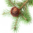Royalty-Free Stock Photo: Spruce branch with cone isolate