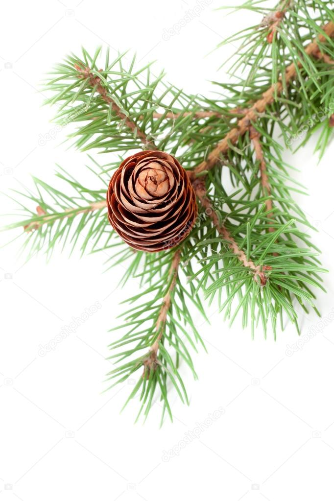 Spruce branch with cone isolate — Stock Photo #14082796