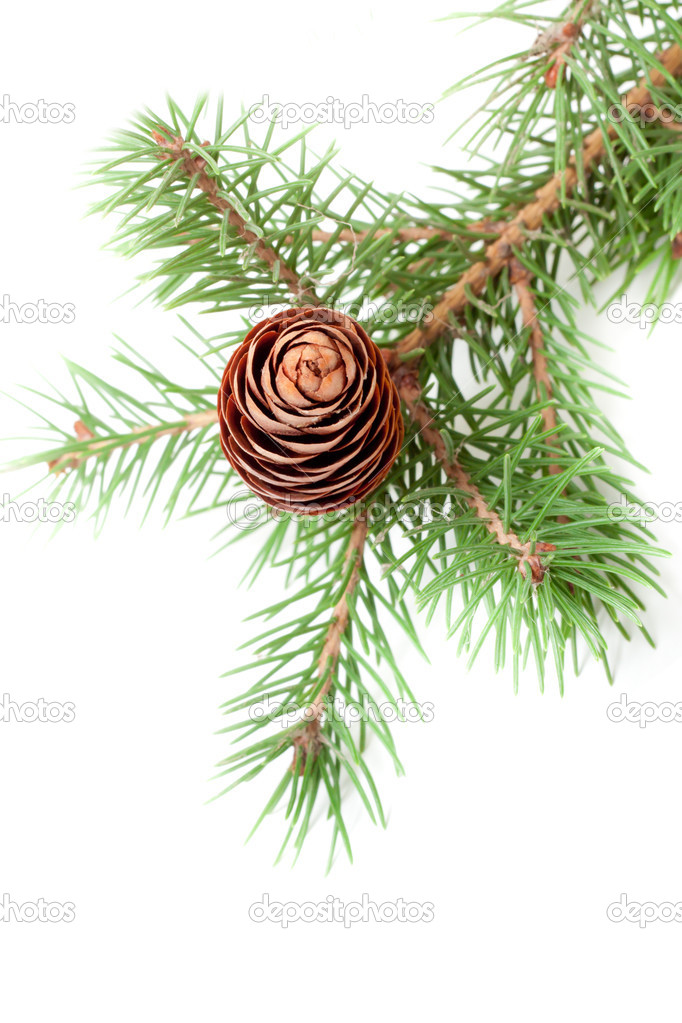 Spruce branch with cone isolate — Stockfoto #14082796