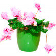 Pink cyclamen in a green pot — Stock Photo #19681785