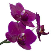 Orchid flower on a white background — Stock Photo