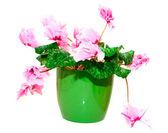 Pink cyclamen in a green pot — Stock Photo