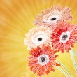 Gerbera flower background — Stock Photo