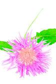 Clover flower isolated on white — Stock Photo
