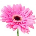 Gerbera flower isolated on white background — Stock Photo