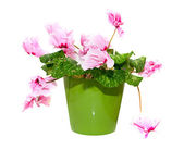 Pink Flower Isolated on White in a Pot — Stock Photo
