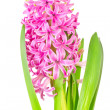 Spring pink hyacinth isolated over white background — Stock Photo #42429267