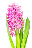 Spring pink hyacinth isolated over white background — Stock Photo