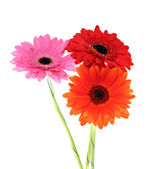 Gerbera Flower Isolated on White Background — Stock Photo