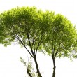 Green Tree Isolated on White Background — Stock Photo #46148077