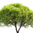 Green Tree Isolated on White Background — Stock Photo #46148081