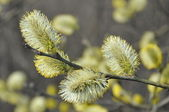Branch of a blossoming willow — Stock Photo