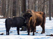 Bison, prioksko - terrasny rezerv — Stok fotoğraf