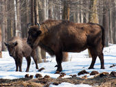 Bison in Prioksko - Terrasny reserve — Stock Photo