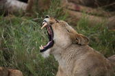 Lioness Yawning on the Serengeti — Stock Photo