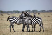 Three Zebras on the Lookout in Serengeti National Park — Stock Photo
