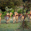 Impalas Looking in the Distance, Serengeti - Stock Photo