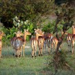 Stock Photo: Impalas Looking in the Distance, Serengeti