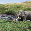 Stock Photo: Rare Site: Elephant Bathing with Hippopotamus in Ngorongoro Crater
